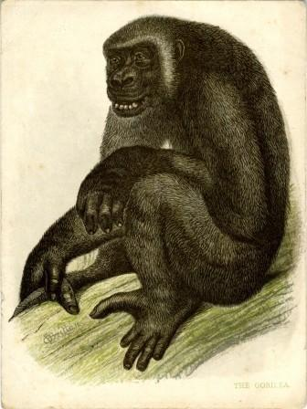 The Gorilla a Reward Card by William Dickes