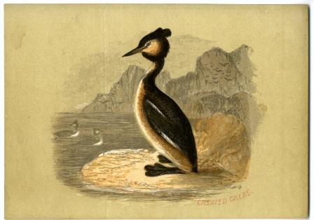 Crested Grebe a Reward Card by William Dickes