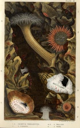 British Sea Anemones and Corals - Plate III printed by William Dickes