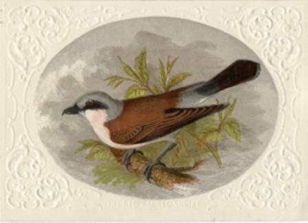 The Red-Backed Shrike a Reward Card by William Dickes